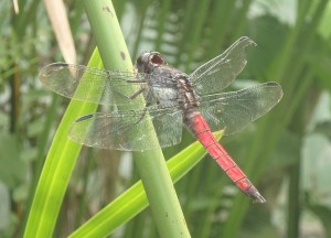 Red Dragon Fly - moneyshot CROP