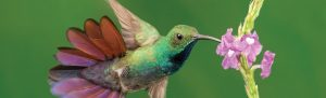 greenbreastedmangohummingbird