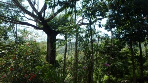 Ceiba tree and jungle