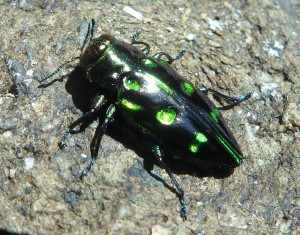 Chrysobothris chrysoela - crop