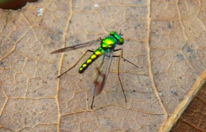 Shiney green fly bug-crop